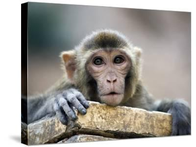 Monkey (Rhesus Macaque) at Monkey Temple, Galta-Lindsay Brown-Stretched Canvas Print