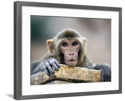 Monkey (Rhesus Macaque) at Monkey Temple, Galta-Lindsay Brown-Framed Premium Photographic Print