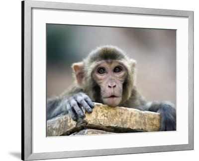 Monkey (Rhesus Macaque) at Monkey Temple, Galta-Lindsay Brown-Framed Photographic Print