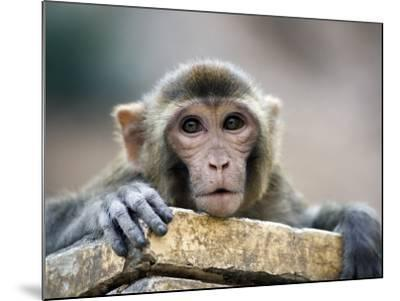 Monkey (Rhesus Macaque) at Monkey Temple, Galta-Lindsay Brown-Mounted Photographic Print