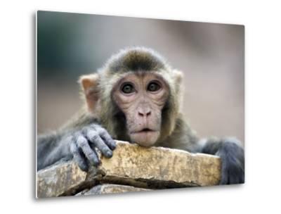 Monkey (Rhesus Macaque) at Monkey Temple, Galta-Lindsay Brown-Metal Print