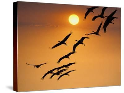 Sandhill Crane (Grus Canadensis) Migration Along Platte River-Mark Newman-Stretched Canvas Print