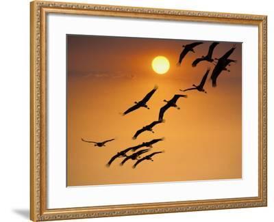 Sandhill Crane (Grus Canadensis) Migration Along Platte River-Mark Newman-Framed Photographic Print