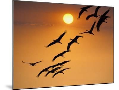 Sandhill Crane (Grus Canadensis) Migration Along Platte River-Mark Newman-Mounted Photographic Print