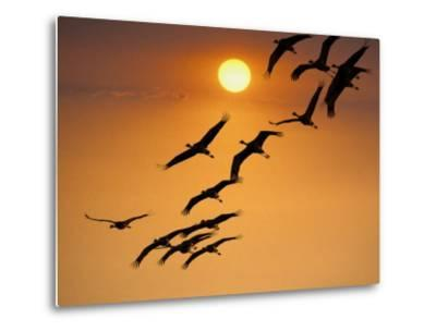Sandhill Crane (Grus Canadensis) Migration Along Platte River-Mark Newman-Metal Print