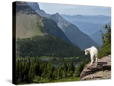 Mountain Goat (Oreamnos Americanus)-Mark Newman-Stretched Canvas Print
