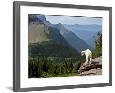 Mountain Goat (Oreamnos Americanus)-Mark Newman-Framed Photographic Print