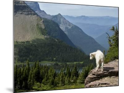 Mountain Goat (Oreamnos Americanus)-Mark Newman-Mounted Photographic Print
