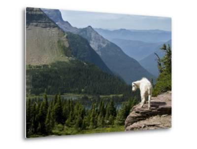 Mountain Goat (Oreamnos Americanus)-Mark Newman-Metal Print