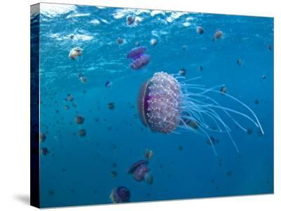 Purple Ocean Jelly Fish, Ras Banas, Red Sea-Mark Webster-Stretched Canvas Print
