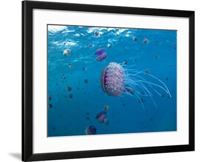 Purple Ocean Jelly Fish, Ras Banas, Red Sea-Mark Webster-Framed Photographic Print