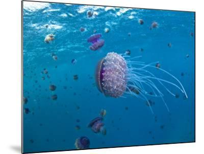 Purple Ocean Jelly Fish, Ras Banas, Red Sea-Mark Webster-Mounted Photographic Print