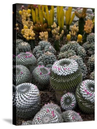 Cactus Garden in the Pine View Nursery-Antony Giblin-Stretched Canvas Print