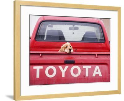 Dog Waiting on Back of Ute-Andrew Bain-Framed Photographic Print