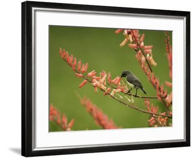 Immature Beautiful Sunbird (Cinnyris Pulchella) Feeding from Aloe-Ariadne Van Zandbergen-Framed Photographic Print