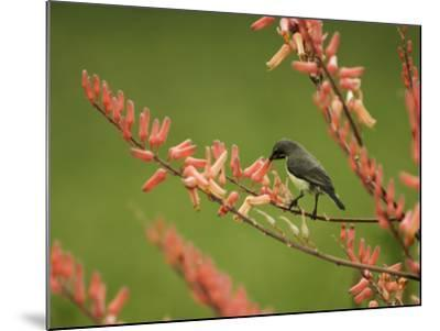 Immature Beautiful Sunbird (Cinnyris Pulchella) Feeding from Aloe-Ariadne Van Zandbergen-Mounted Photographic Print