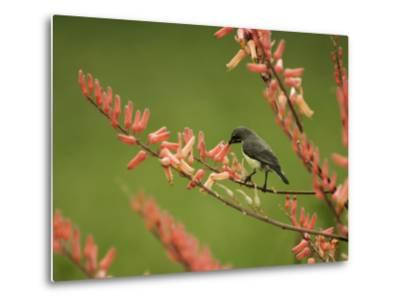 Immature Beautiful Sunbird (Cinnyris Pulchella) Feeding from Aloe-Ariadne Van Zandbergen-Metal Print