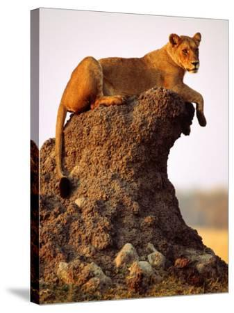 Lioness (Panthera Leo) Watching Surroundings from Termite Mound-Andrew Parkinson-Stretched Canvas Print