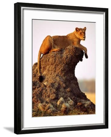 Lioness (Panthera Leo) Watching Surroundings from Termite Mound-Andrew Parkinson-Framed Photographic Print
