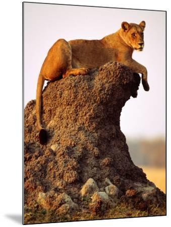 Lioness (Panthera Leo) Watching Surroundings from Termite Mound-Andrew Parkinson-Mounted Photographic Print