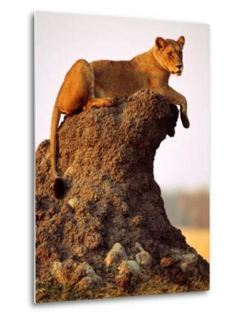 Lioness (Panthera Leo) Watching Surroundings from Termite Mound-Andrew Parkinson-Metal Print