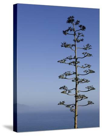 An Agave Plant (Agave Americana), Overlooking Pacific Ocean-Brent Winebrenner-Stretched Canvas Print
