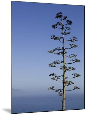 An Agave Plant (Agave Americana), Overlooking Pacific Ocean-Brent Winebrenner-Mounted Photographic Print