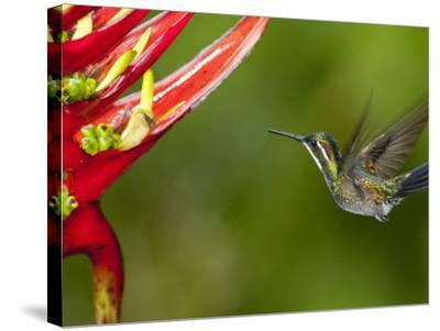 Gray-Tailed (White-Throated) Mountain Gem, Female (Lampornis Cinereicauda)-Alfredo Maiquez-Stretched Canvas Print