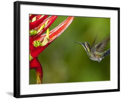 Gray-Tailed (White-Throated) Mountain Gem, Female (Lampornis Cinereicauda)-Alfredo Maiquez-Framed Photographic Print