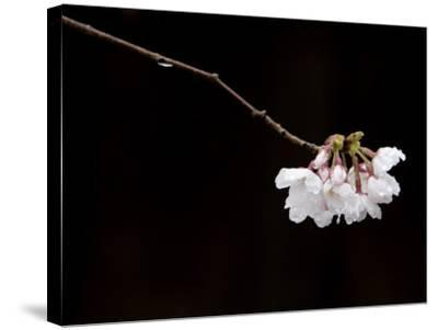 Cherry Blossom Detail-Brent Winebrenner-Stretched Canvas Print