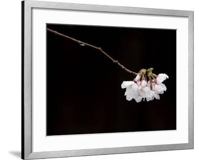 Cherry Blossom Detail-Brent Winebrenner-Framed Photographic Print