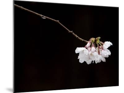 Cherry Blossom Detail-Brent Winebrenner-Mounted Photographic Print