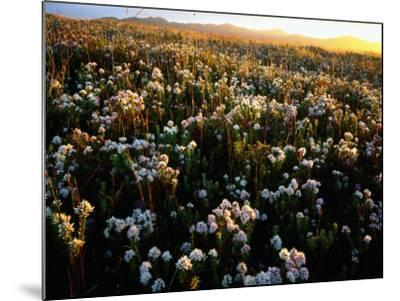 Wildflowers on West Coast-Rob Blakers-Mounted Photographic Print