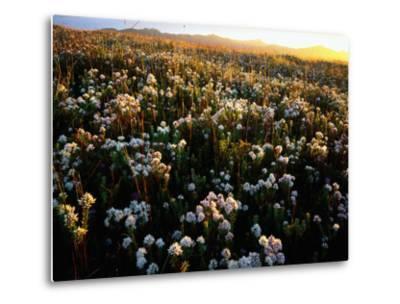 Wildflowers on West Coast-Rob Blakers-Metal Print