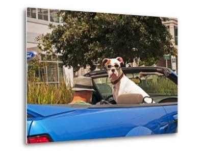 Dog Wearing Goggles, Passenger of Convertible Car on Vanness Avenue-Sabrina Dalbesio-Metal Print