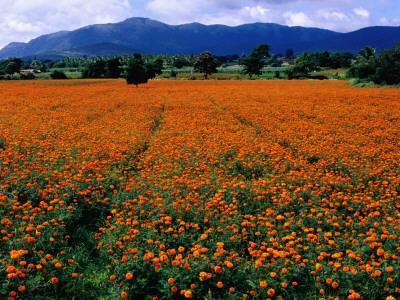 Field of Marigolds Near Mysore-Richard l'Anson-Framed Photographic Print