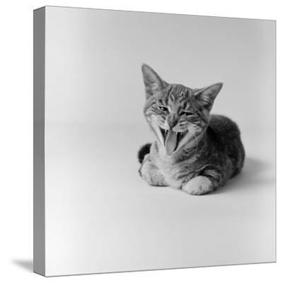 Kitten Lying Down, Yawning-H^ Armstrong Roberts-Stretched Canvas Print