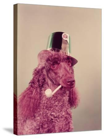 Poodle Dog With Pipe in Mouth, Wearing Green Paper Party Hat For St Patrick's Day-H^ Armstrong Roberts-Stretched Canvas Print