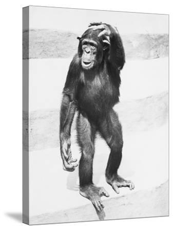 Chimpanzee Standing on Steps, Scratching Head-George Marks-Stretched Canvas Print