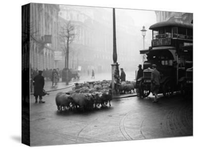 City Sheep--Stretched Canvas Print