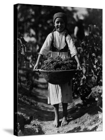 Grape Harvest--Stretched Canvas Print