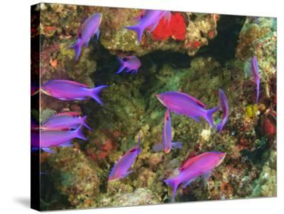 Fairy Basslets in Milne Bay, Papua New Guinea-Stuart Westmorland-Stretched Canvas Print