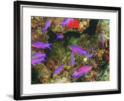 Fairy Basslets in Milne Bay, Papua New Guinea-Stuart Westmorland-Framed Photographic Print