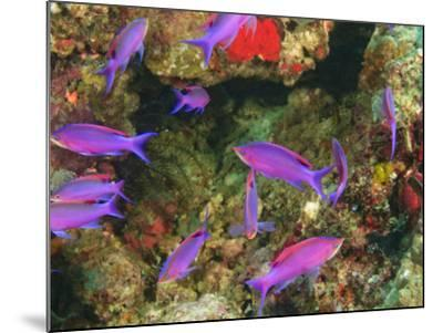 Fairy Basslets in Milne Bay, Papua New Guinea-Stuart Westmorland-Mounted Photographic Print