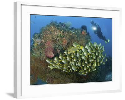 Diver and Schooling Sweetlip Fish Next To Reef, Raja Ampat, Papua, Indonesia-Jones-Shimlock-Framed Photographic Print