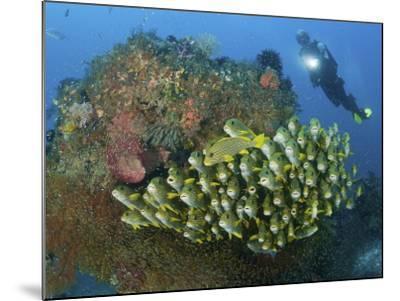 Diver and Schooling Sweetlip Fish Next To Reef, Raja Ampat, Papua, Indonesia-Jones-Shimlock-Mounted Photographic Print