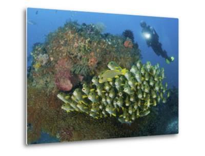 Diver and Schooling Sweetlip Fish Next To Reef, Raja Ampat, Papua, Indonesia-Jones-Shimlock-Metal Print