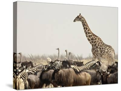 A Lone Giraffe Stands Tall at a Waterhole, Etosha National Park, Namibia, Africa-Wendy Kaveney-Stretched Canvas Print
