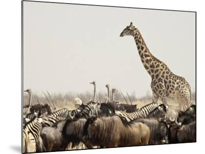 A Lone Giraffe Stands Tall at a Waterhole, Etosha National Park, Namibia, Africa-Wendy Kaveney-Mounted Photographic Print