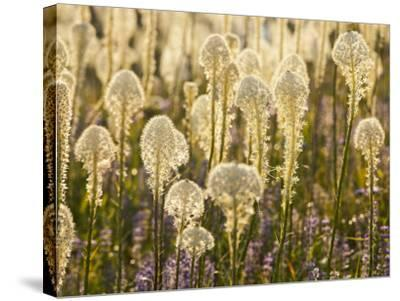 Beargrass and Lupine Backlit on the Slopes at Whitefish Mountain Resort, Whitefish, Montana, USA-Chuck Haney-Stretched Canvas Print